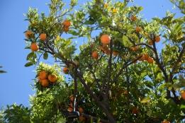 Orangenbäume